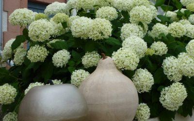 Hortensien-Vielfalt